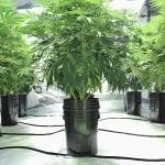 The Best Indoor Hydroponic System for Weed