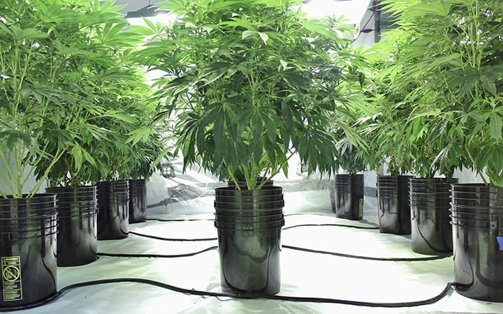 Marijuana growing in hydroponics system