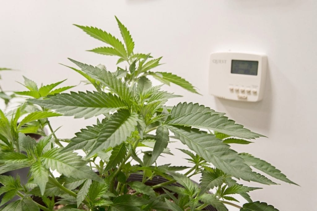 Cannabis Humidity