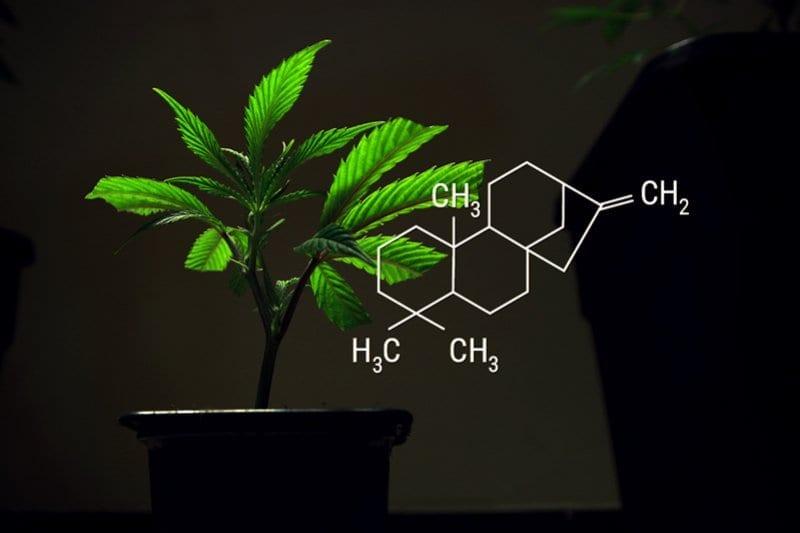 cannabis clonning