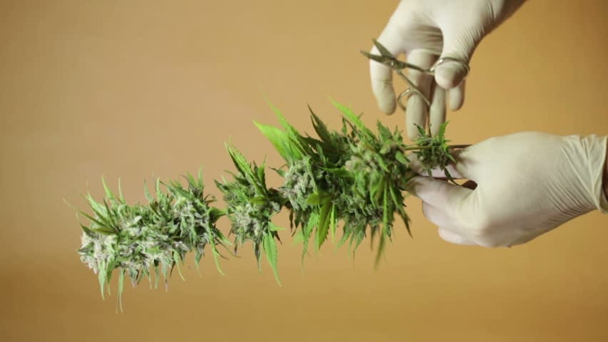 trimming marijuana