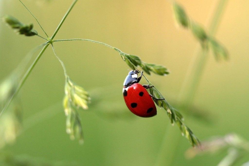 Weed pest control - Ladybugs