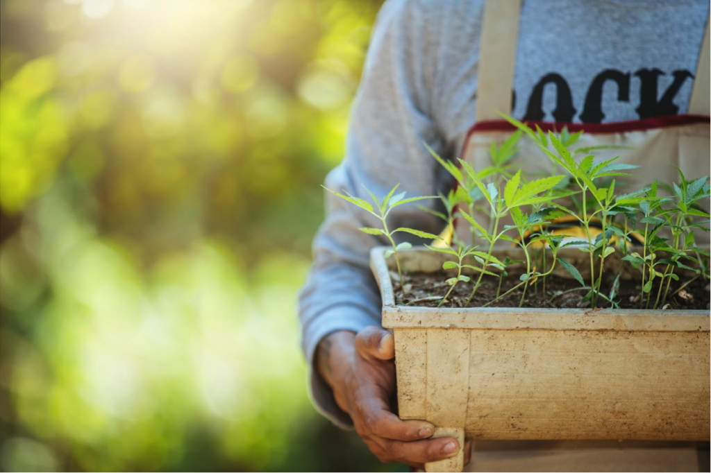 Farmer holding a green crack cannabis plants