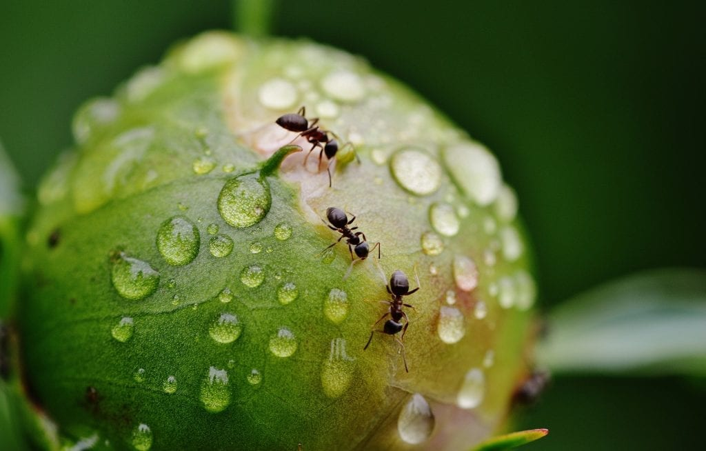 how to get rid of ants in plants
