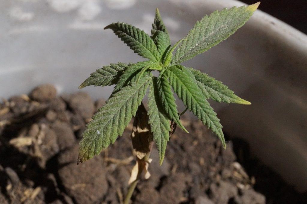 Marijuana root rot