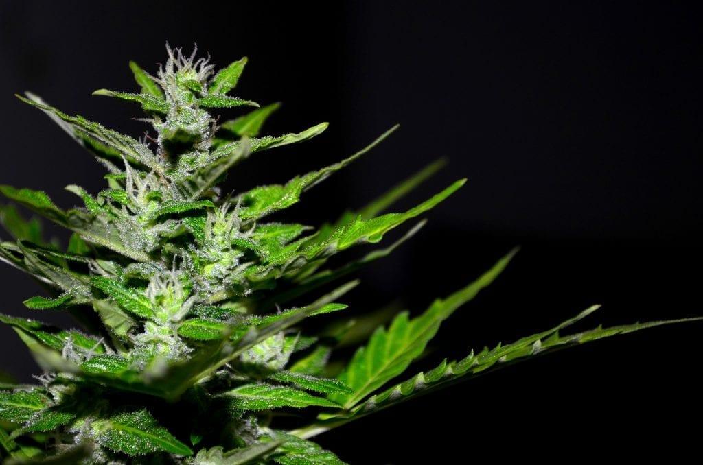 hermaphrodite weed plant