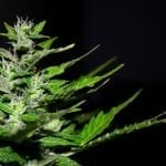 Hermaphrodite Weed Plant | All You Need To Know