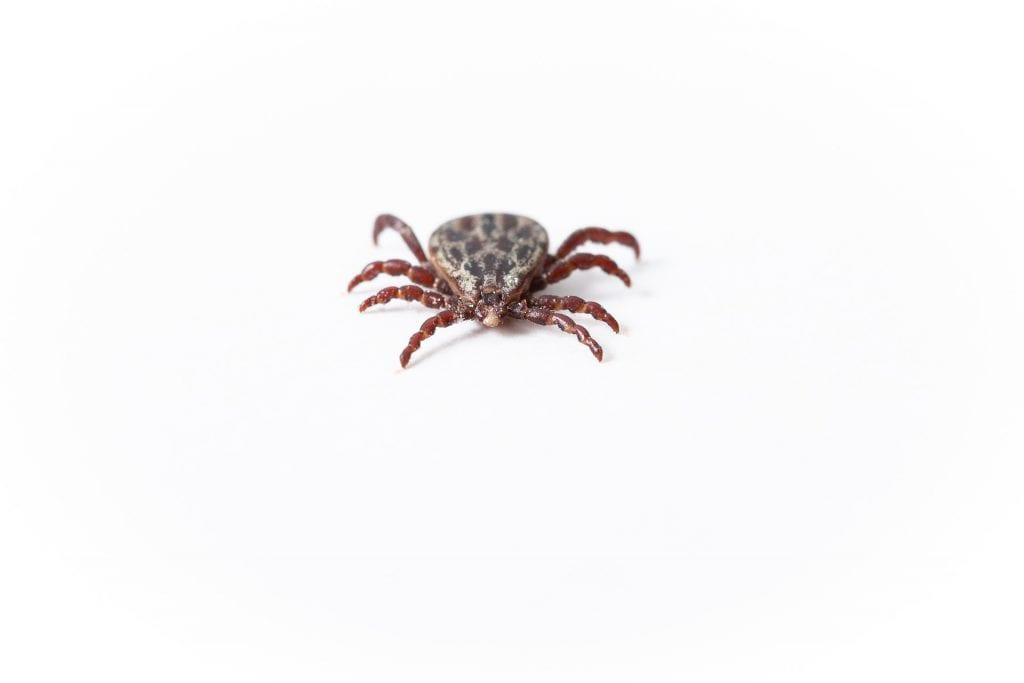 spider mites cannabis